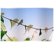 Dark-sided Flycatcher Bird Poster