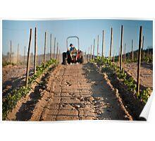 Growing vineyard at sunset Poster