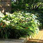 Sunlit Hostas  by kathrynsgallery