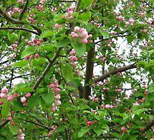 Apple Blossoms by kat44