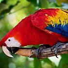 Parrot  by fisherfreek