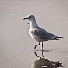 Seagull  by fisherfreek