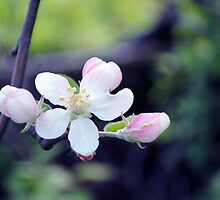 Apple Blossoms by fireflyfishing