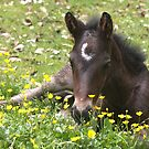 """""""Resting in the Buttercups..."""" by Rosehaven"""