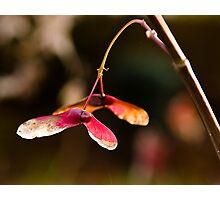 Maple Tree Seedpod Photographic Print