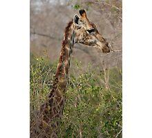 Sabi Sabi - Giraffe Profile Photographic Print