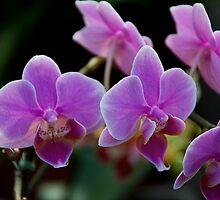 Purple Orchid by richchop
