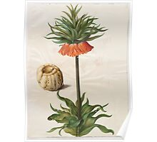 Johannes Simon Holtzbecher Fritillaria imperialis Poster