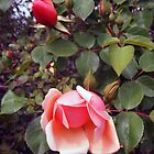 The old fashioned Albertine rose by Margaret Morgan (Watkins)