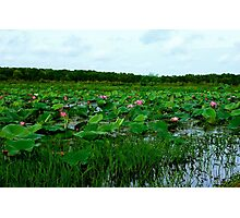 Lotus Flowers at Fogg Dam Photographic Print