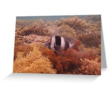 Magpie Perch (Cheilodactylus nigripes) - Hallett Cove, South Australia Greeting Card