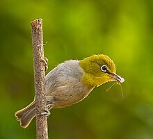 Cape White Eye with Breakfast by Warren. A. Williams