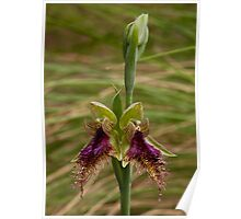 Calochilus robertsonii Purple Beard-orchid Poster