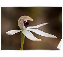 Caladenia cucullata Hooded Caladenia Poster