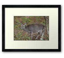 Young Deer Framed Print