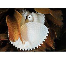 Paper Nautilus Photographic Print