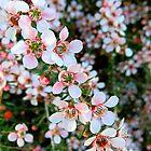 Delicate Tea Tree - Leptospermum incanum by Akrotiri