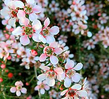 Delicate Tea Tree - Leptospermum incanum by Akrotiri