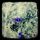 Thorny Hovea by Melissa Drummond