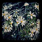 Goldfields Daisy by Melissa Drummond