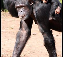 Chimps' piggyback. by kkimi88