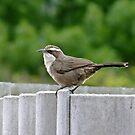 White - Browed Babbler by Rick Playle