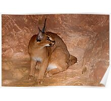 Caracal Cat (In Captivity at Brookfield Zoo) Poster