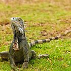 Iguana on Saint Marten Island by Steve Borichevsky