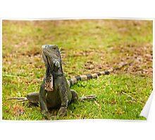 Iguana on Saint Marten Island Poster