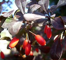 Ornamental shrub with berries by Ana Belaj