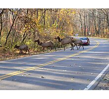 Elk Crossing The Road Photographic Print