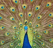 Peacock by Rhys Herbert