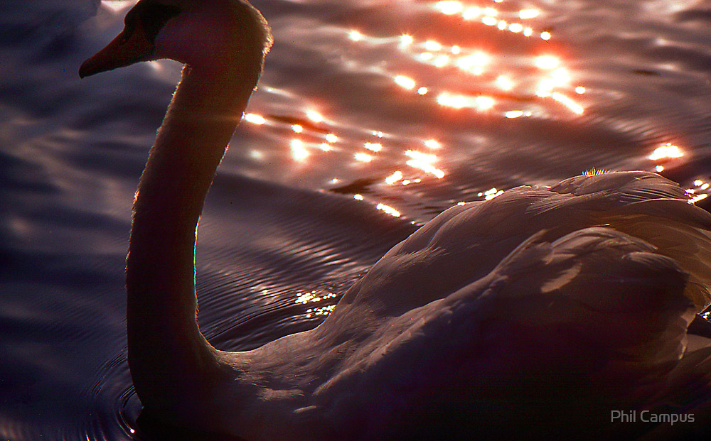 Swan by Phil Campus