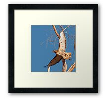 0208111 Red Tailed Hawk Framed Print