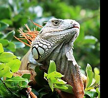 Red Iguana by D R Moore