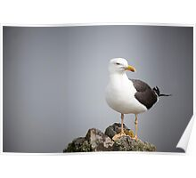 Posed Gull Poster