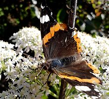 Butterfly by Johnathan Bellamy