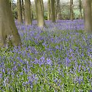 Bluebells, Micheldever Forest by Andrew Duke