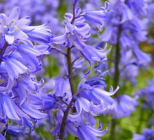 """English Bluebell""  (Hyacinthoides, Scilla Nutans) by Anita  Fletcher"
