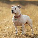 Millie in golden field by LisaRoberts