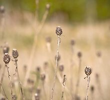 Seed Heads In Fall by lightmonger