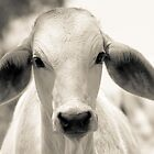 Brahman Calf by Anthea Bennett