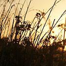 Golden grass by LisaRoberts