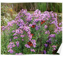 Beautiful Asters Accentuated By Monarchs Poster