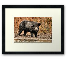 Face-to-Face with a Ferrel Hog  Framed Print