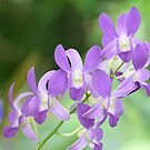 Light Purple Orchids by Paula Betz