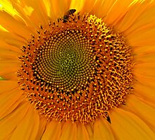 Sunflower and Bee by Christine Chase Cooper