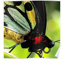 Cairns Birdwing Detail Poster