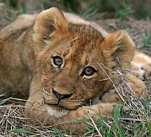 A young lion cub(This is the life!) by jozi1