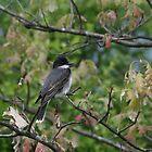 Eastern Kingbird by eaglewatcher4